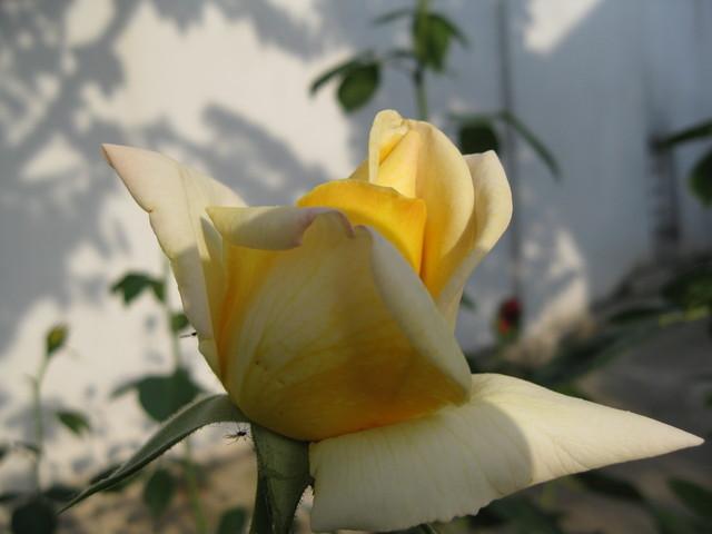 Ruže - Page 2 12000421