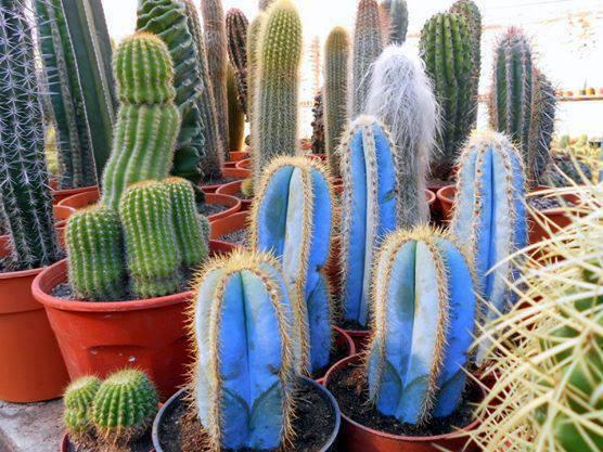 Fotografije kaktusa - Page 2 13269406